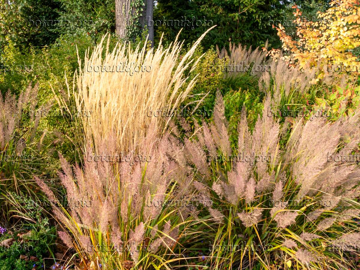 image reed grass calamagrostis x acutiflora 39 karl foerster 39 and feather reed grass. Black Bedroom Furniture Sets. Home Design Ideas
