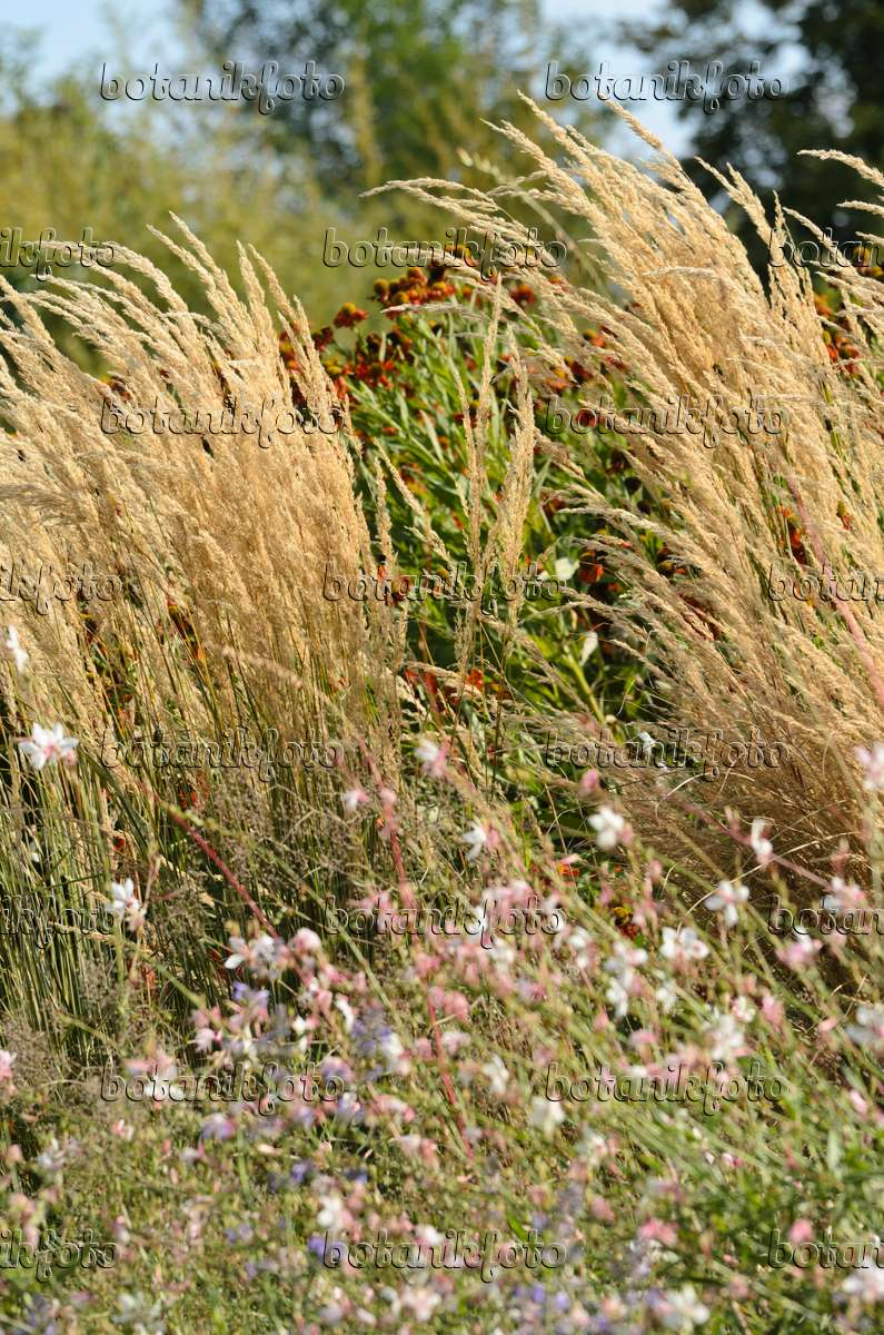 image reed grass calamagrostis x acutiflora 39 karl foerster 39 and butterfly gaura gaura. Black Bedroom Furniture Sets. Home Design Ideas