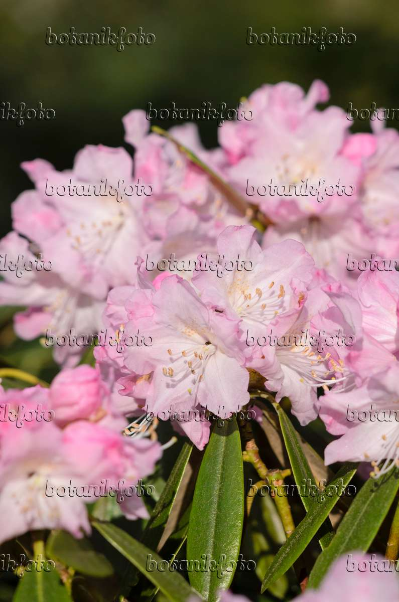 images rhododendrons 3 images and videos of plants and. Black Bedroom Furniture Sets. Home Design Ideas