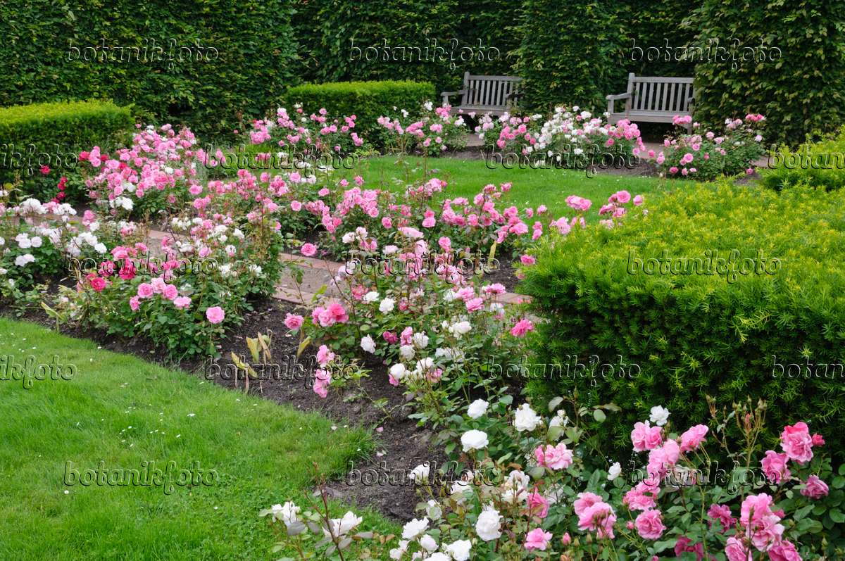 image rose garden britzer garten berlin germany. Black Bedroom Furniture Sets. Home Design Ideas