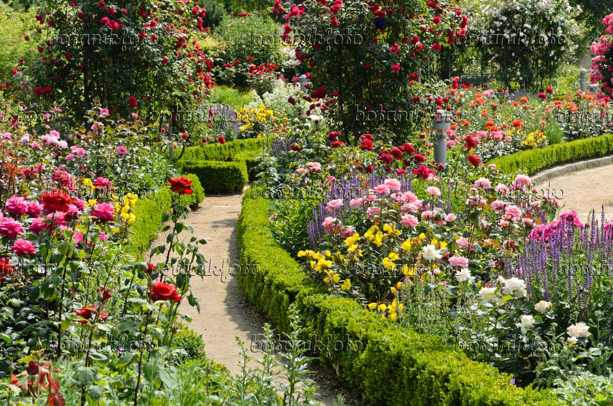 Image Rose garden with box hedges 497216 Images and videos of