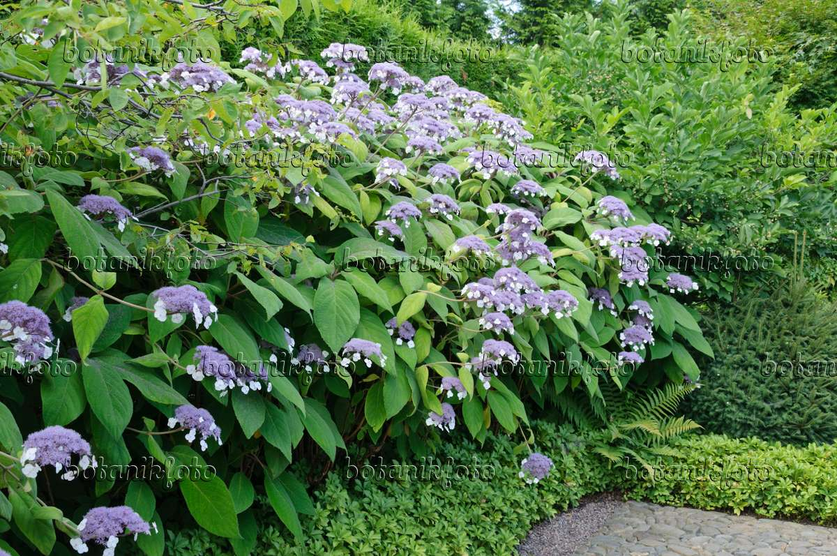 image sargent 39 s hydrangea hydrangea aspera subsp sargentiana 486229 images and videos of. Black Bedroom Furniture Sets. Home Design Ideas