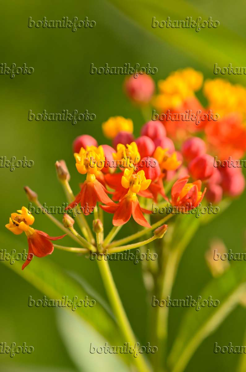 Red Butterfly Milkweed Asclepias Curassavica Red: Image Scarlet Milkweed (Asclepias Curassavica 'Red