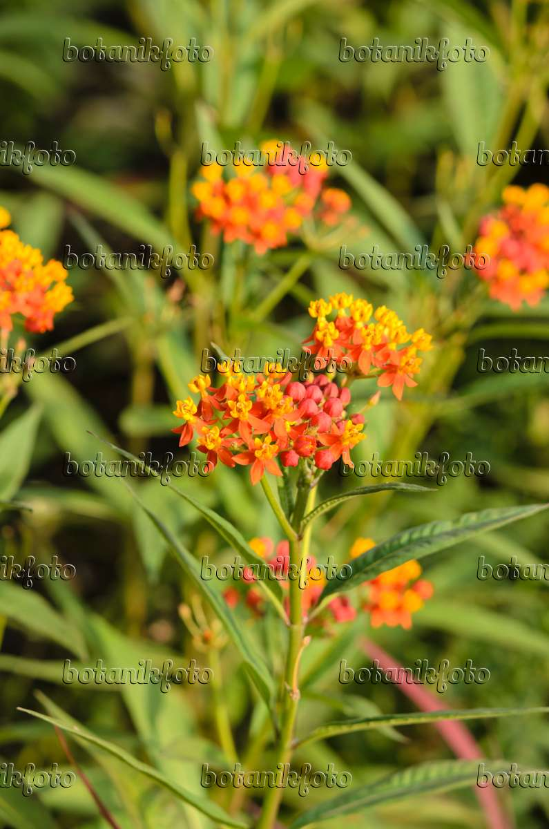 Red Butterfly Milkweed Asclepias Curassavica Red: Images Asclepias Curassavica