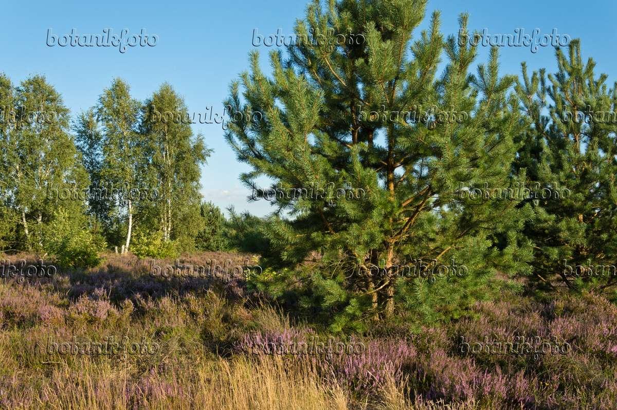 Image Scots pine (Pinus sylvestris), common heather (Calluna ...