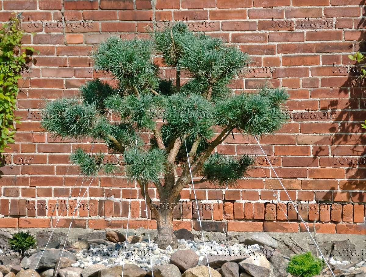 image scots pine pinus sylvestris 39 watereri 39 490112. Black Bedroom Furniture Sets. Home Design Ideas