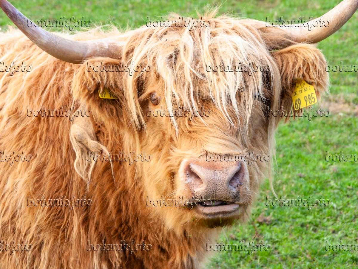 Image scottish highland cattle bos taurus 525233 images and