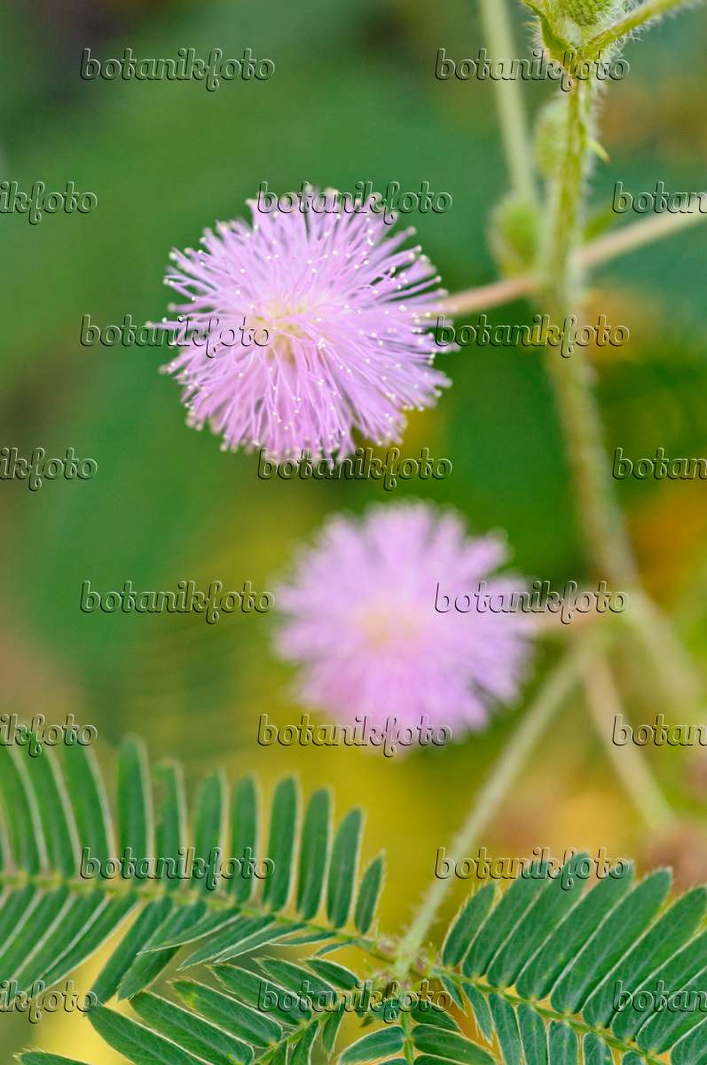 image sensitive plant mimosa pudica 477120 images and videos of plants and gardens. Black Bedroom Furniture Sets. Home Design Ideas