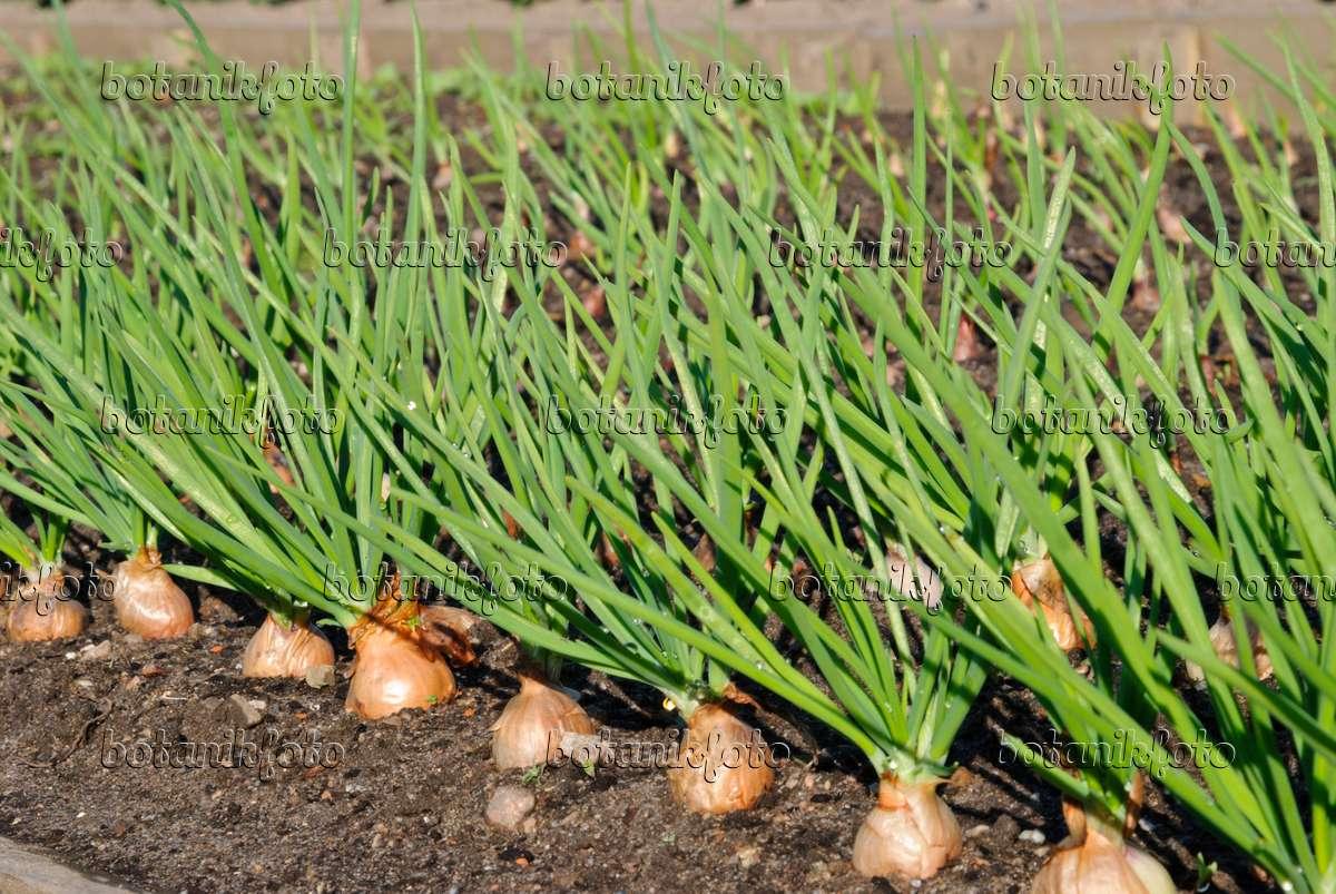 Image Shallot (Allium cepa var. ascalonicum) - 479078 ...