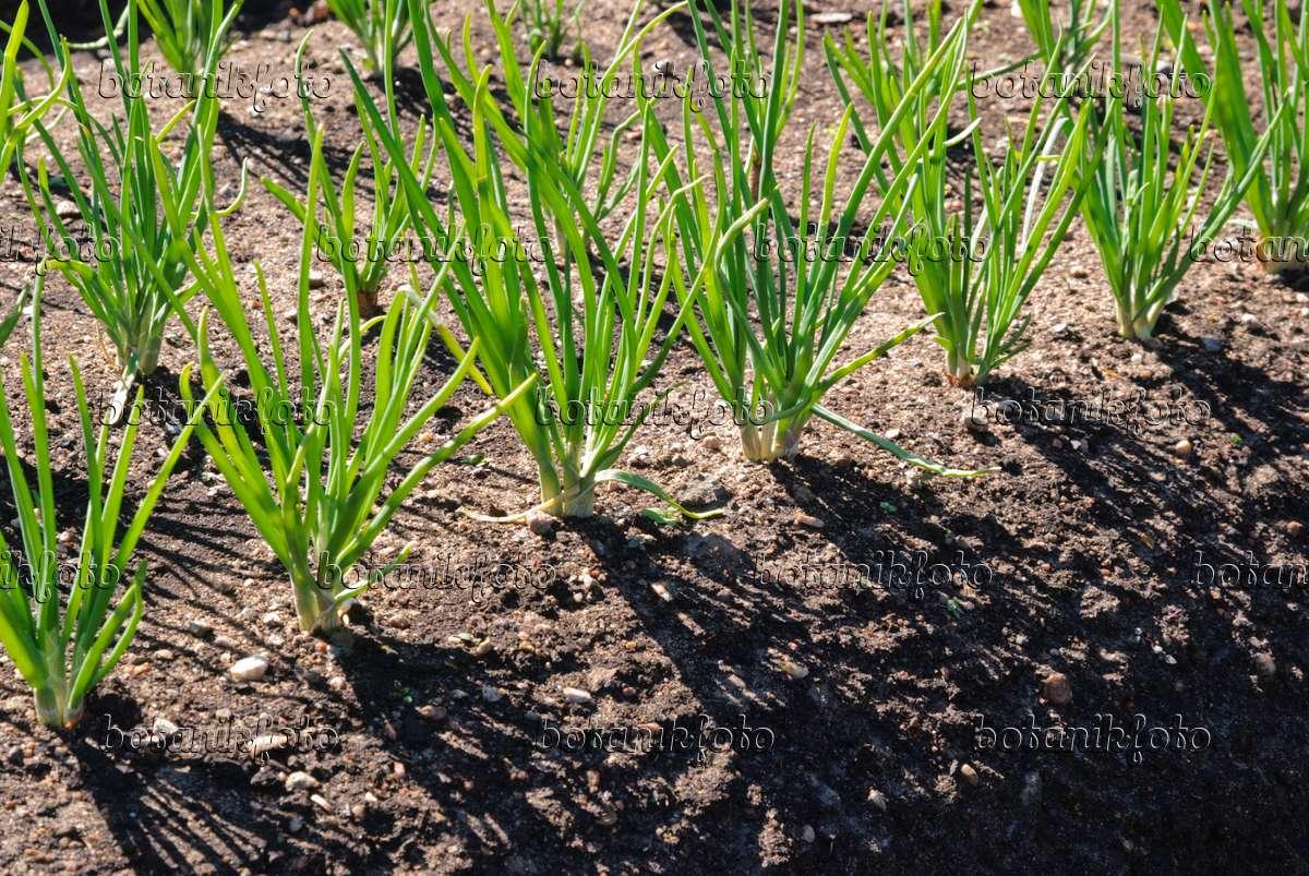 Image Shallot (Allium cepa var. ascalonicum) - 496173 ...
