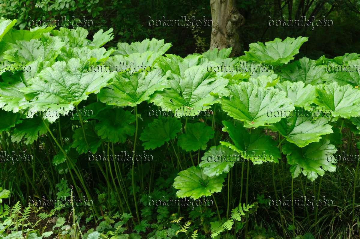 Tafelblatt Astilboides tabularis