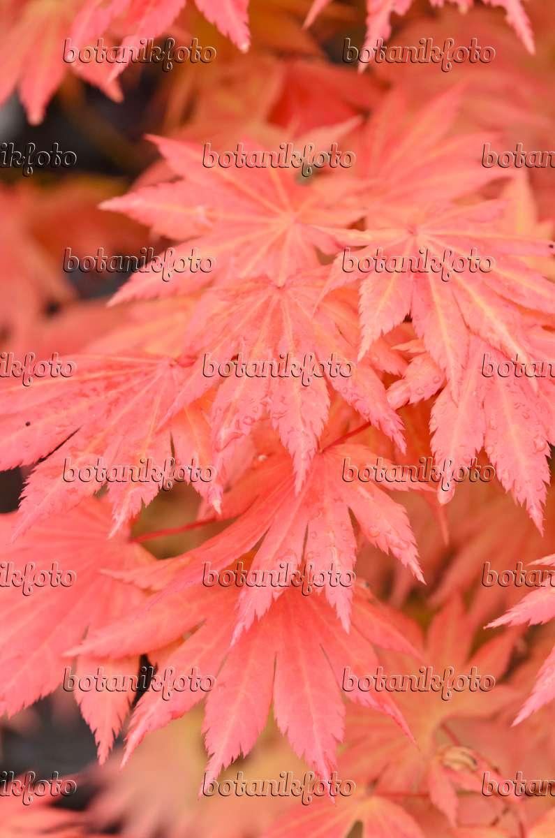 Image Shirasawas Maple Acer Shirasawanum Autumn Moon 520378