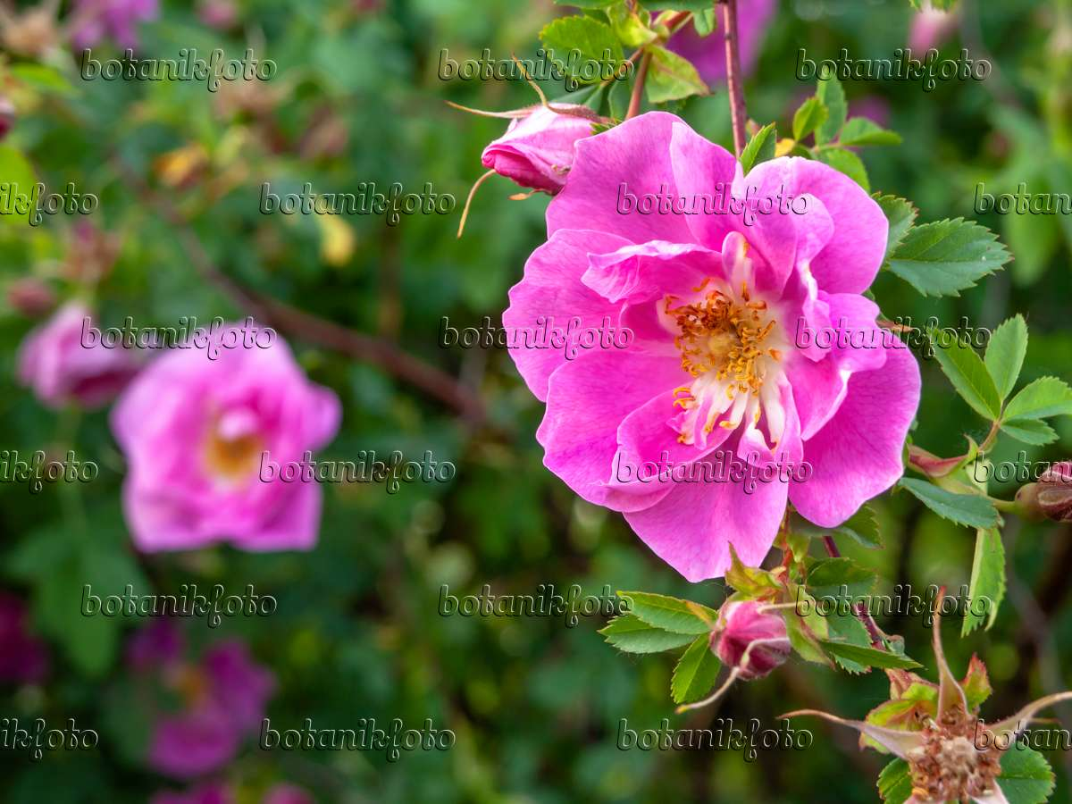 images roses 4 images and videos of plants and gardens botanikfoto. Black Bedroom Furniture Sets. Home Design Ideas