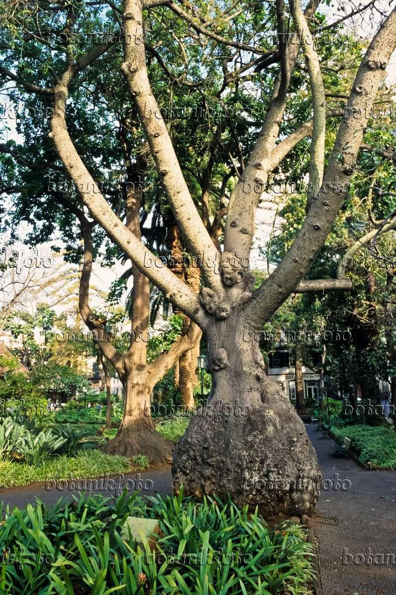 Image Silk Floss Tree Ceiba Speciosa Syn Chorisia