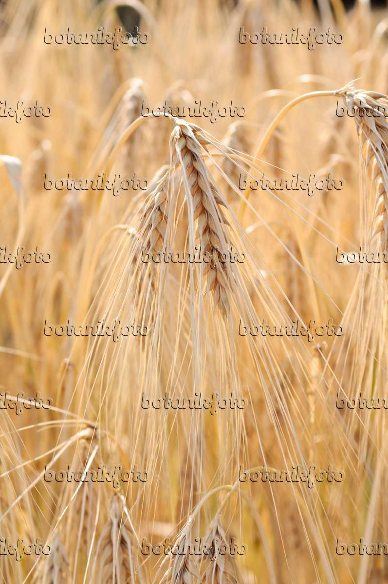 how to grow hordeum vulgare