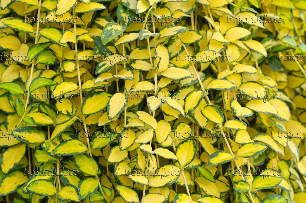 Image smaller periwinkle vinca minor 39 variegata - Vinca minor variegata ...