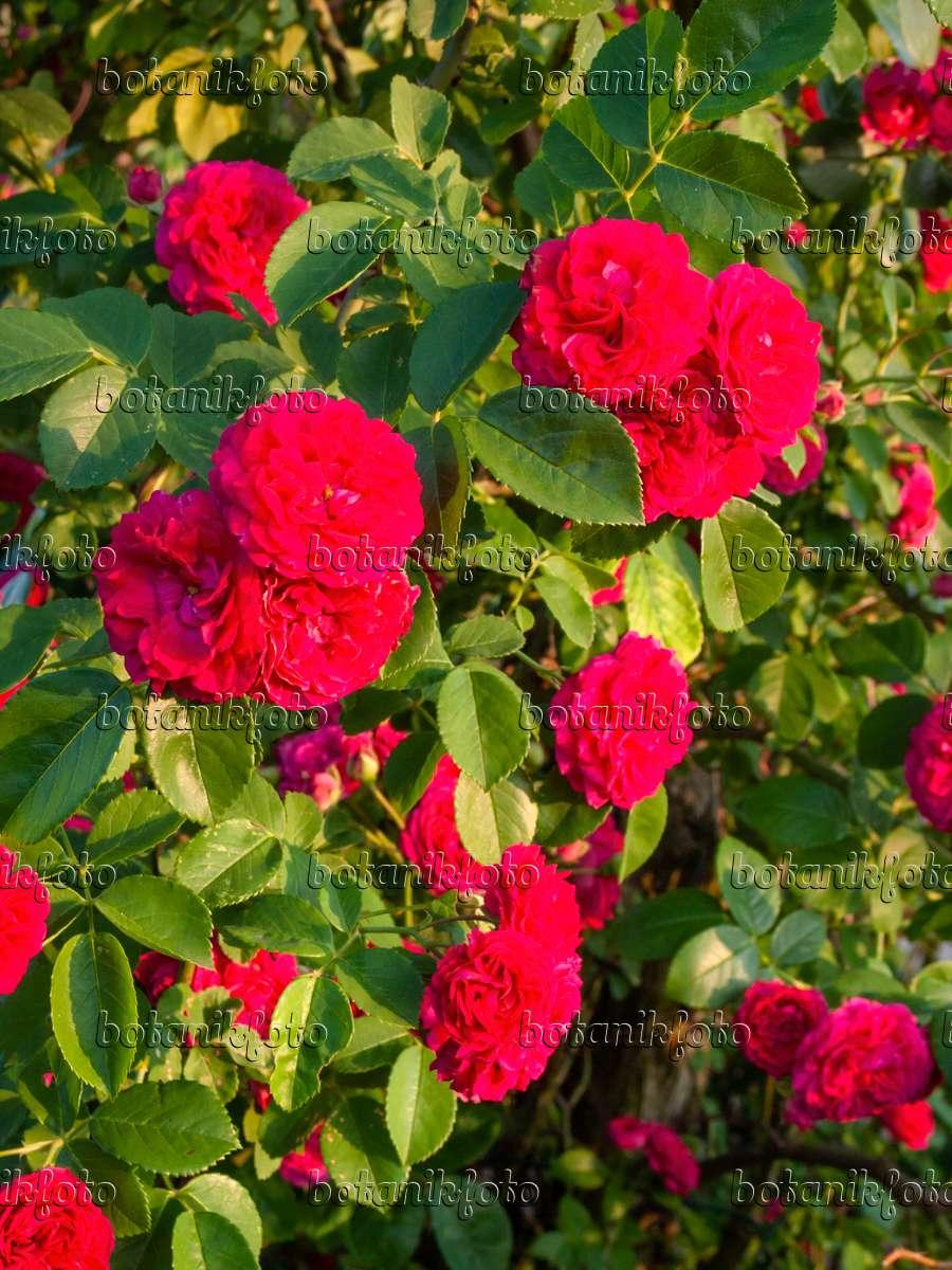 images roses 5 images and videos of plants and gardens botanikfoto. Black Bedroom Furniture Sets. Home Design Ideas
