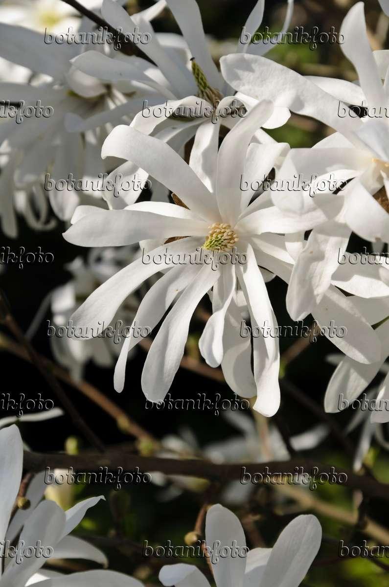 image star magnolia magnolia stellata 39 royal star. Black Bedroom Furniture Sets. Home Design Ideas