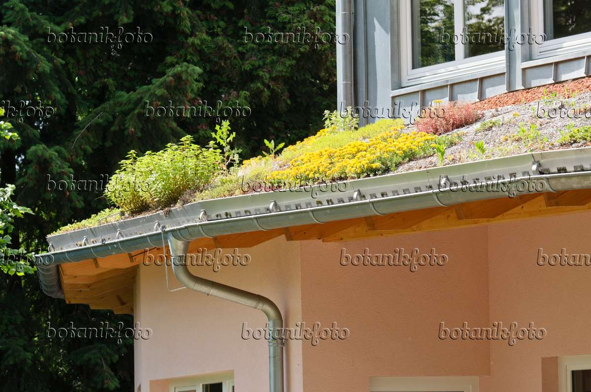 Sedum Roof Sedum on a Green Roof