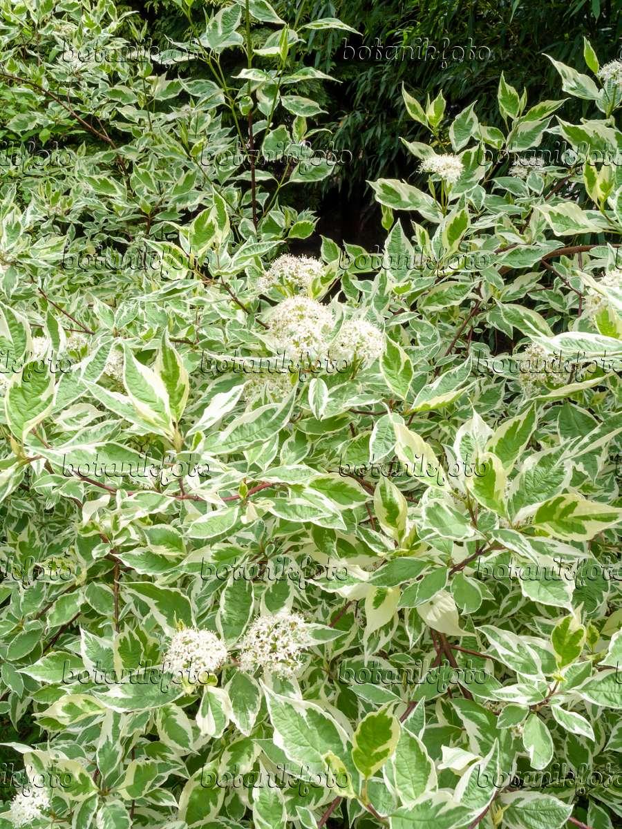image tartarian dogwood cornus alba 39 sibirica variegata. Black Bedroom Furniture Sets. Home Design Ideas