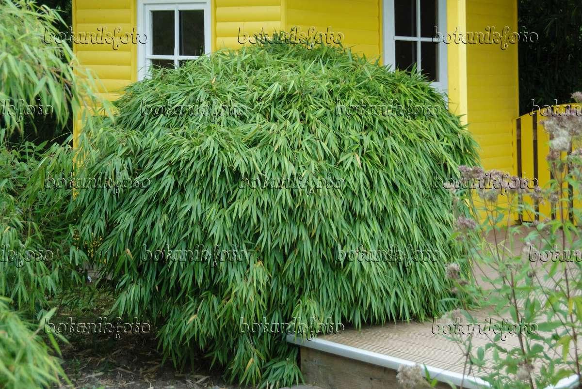 image umbrella bamboo fargesia rufa 526096 images. Black Bedroom Furniture Sets. Home Design Ideas
