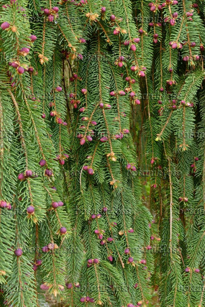 Images Spruces Images And Videos Of Plants And Gardens Botanikfoto
