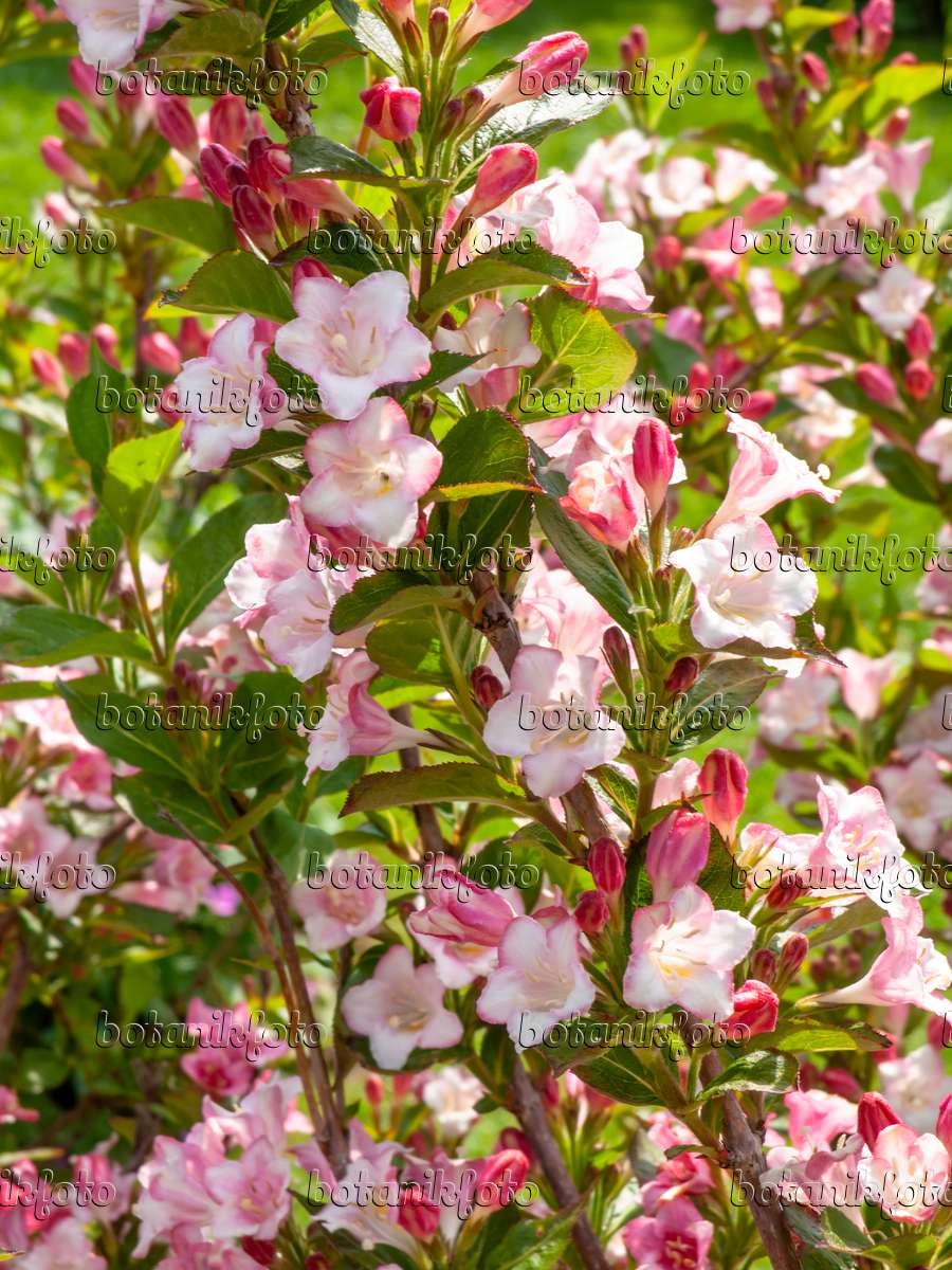 image weigela florida 39 carnaval 39 426111 images and videos of plants and gardens botanikfoto. Black Bedroom Furniture Sets. Home Design Ideas