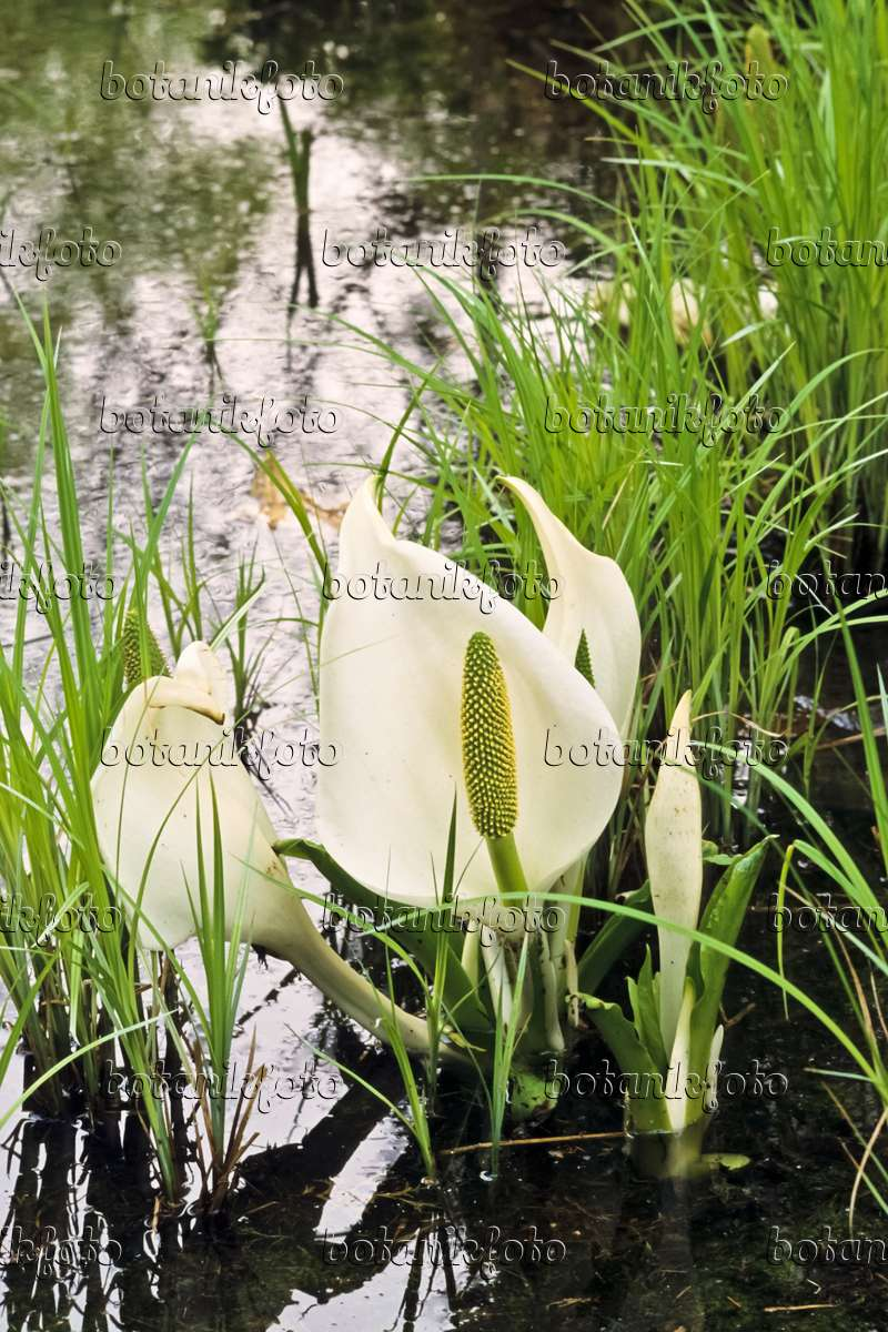 Lysichiton camtschatcensis -None-9 cm White Skunk Cabbage