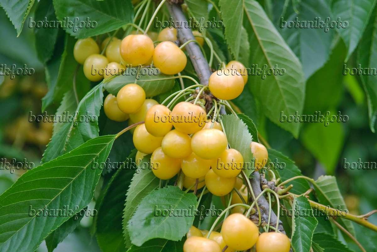 image wild cherry prunus avium 39 d nissens gelbe knorpelkirsche 39 502344 images and videos. Black Bedroom Furniture Sets. Home Design Ideas