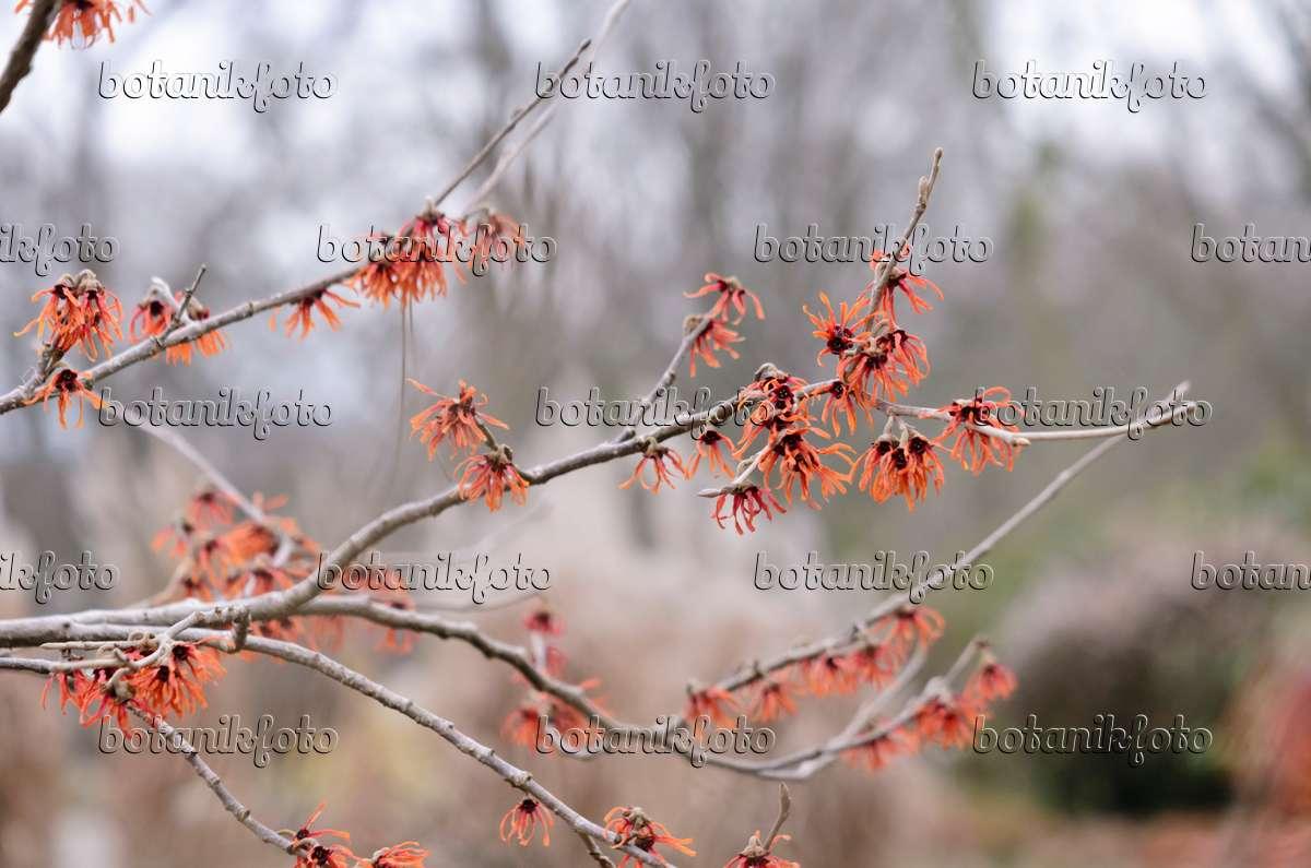 Image Witch hazel (Hamamelis x intermedia 'Diane') - 529068 ...