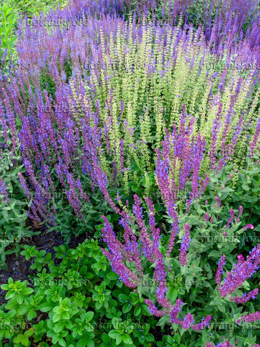 image woodland sage salvia nemorosa 39 caradonna 39 449004 images and videos of plants and. Black Bedroom Furniture Sets. Home Design Ideas