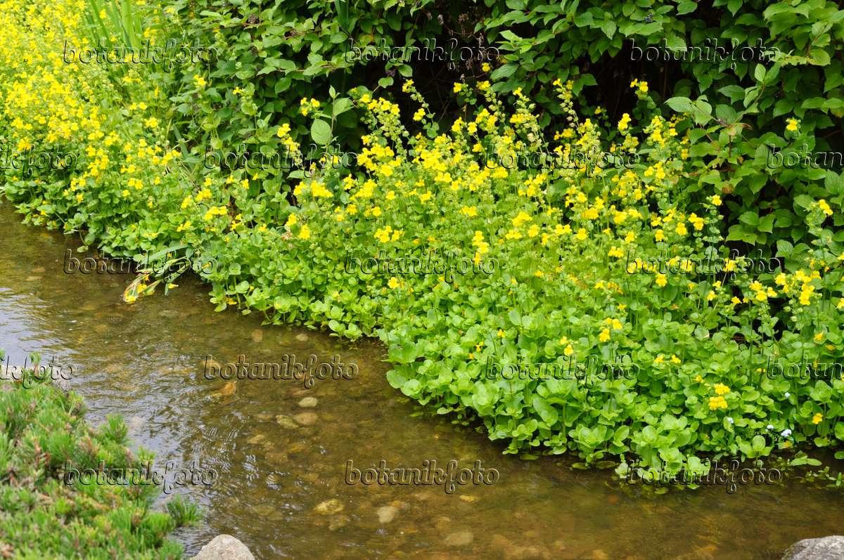 Image yellow monkey flower mimulus luteus 486043 images and 486043 yellow monkey flower mimulus luteus mightylinksfo