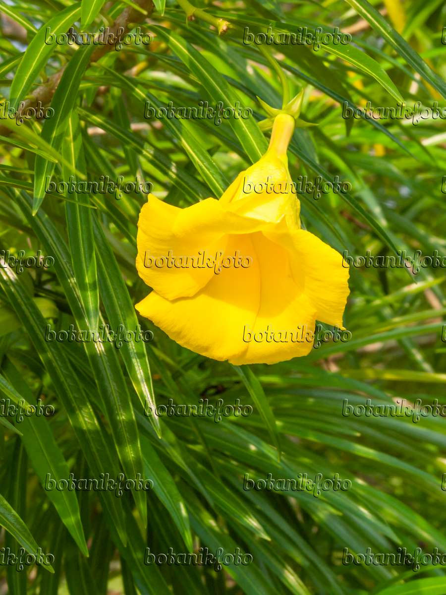 Images oleanders images and videos of plants and gardens botanikfoto yellow mightylinksfo