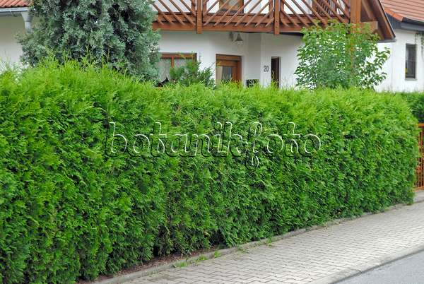 bild lebensbaum thuja r mischer garten hamburg. Black Bedroom Furniture Sets. Home Design Ideas