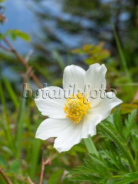 Bilder kuhschelle bilder und videos von pflanzen und for Alpina ka chen und badfarbe