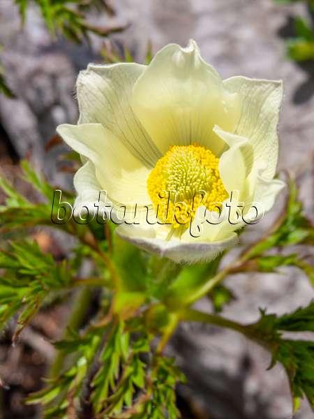 Bilder k chenschelle bilder und videos von pflanzen und for Alpina ka chen und badfarbe