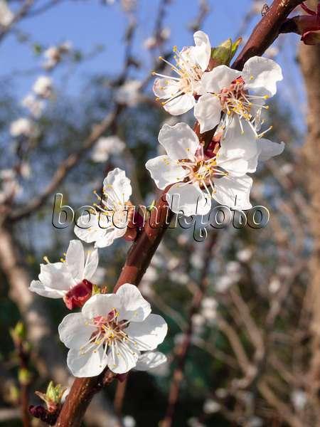 bild aprikose prunus armeniaca 39 ungarische beste 39 517341 bilder und videos von pflanzen. Black Bedroom Furniture Sets. Home Design Ideas
