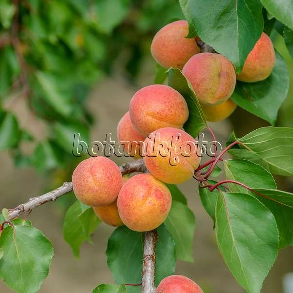 bild aprikose prunus armeniaca 39 tardicot 39 575218 bilder und videos von pflanzen und g rten. Black Bedroom Furniture Sets. Home Design Ideas