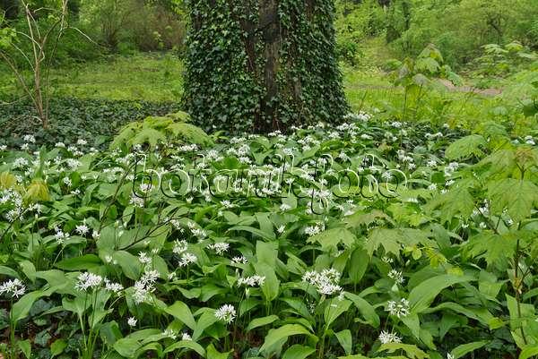 bild b rlauch allium ursinum 520228 bilder und videos von pflanzen und g rten botanikfoto. Black Bedroom Furniture Sets. Home Design Ideas