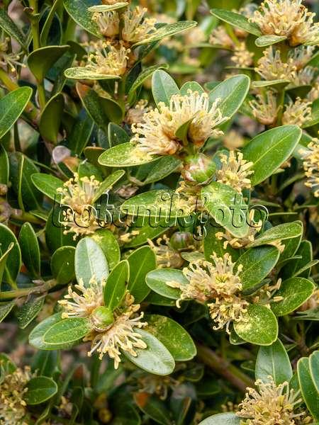 bild balearen buchsbaum buxus balearica 424033 bilder und videos von pflanzen und g rten. Black Bedroom Furniture Sets. Home Design Ideas