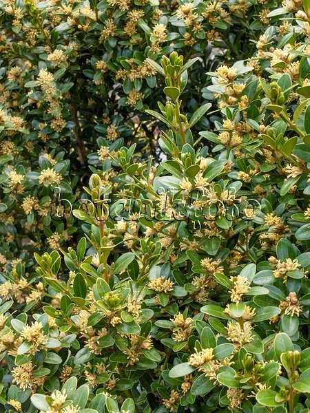bild balearen buchsbaum buxus balearica 424011 bilder und videos von pflanzen und g rten. Black Bedroom Furniture Sets. Home Design Ideas