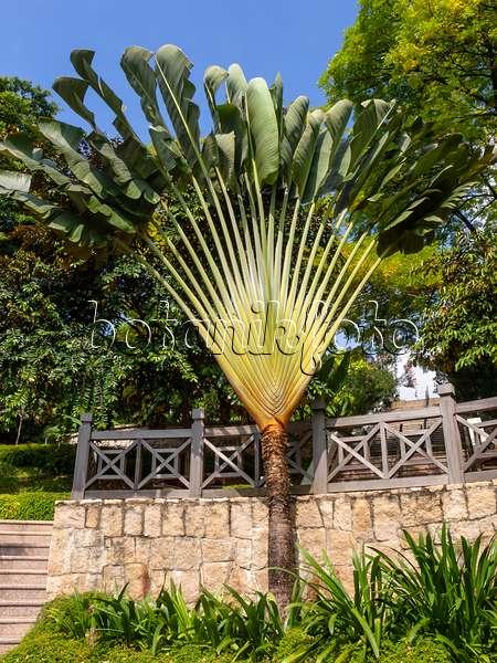 bild baum der reisenden ravenala madagascariensis 525489 bilder und videos von pflanzen. Black Bedroom Furniture Sets. Home Design Ideas
