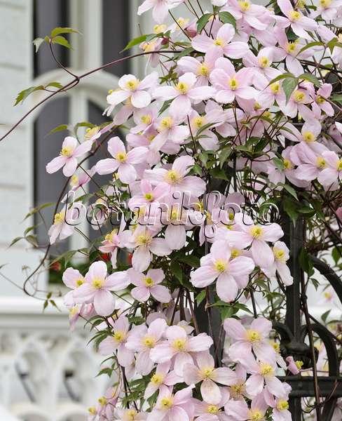 bild rosen rosa waldreben clematis und rittersporne delphinium 486031 bilder und. Black Bedroom Furniture Sets. Home Design Ideas