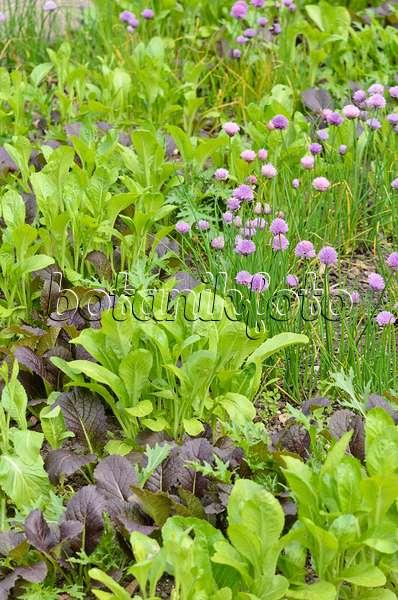 bild schnittlauch allium schoenoprasum 39 forescate 39 390152 bilder und videos von pflanzen. Black Bedroom Furniture Sets. Home Design Ideas
