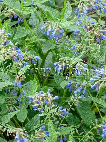 bild kaukasus beinwell symphytum caucasicum 437284 bilder und videos von pflanzen und. Black Bedroom Furniture Sets. Home Design Ideas