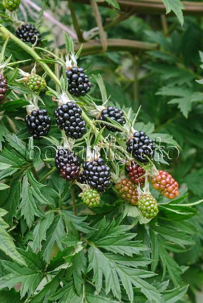 Bild brombeere rubus fruticosus 39 thornless evergreen for Evergreen pflanzen