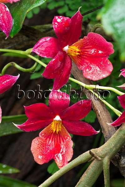 bild burrageara nelly isler 565051 bilder und videos von pflanzen und g rten botanikfoto. Black Bedroom Furniture Sets. Home Design Ideas