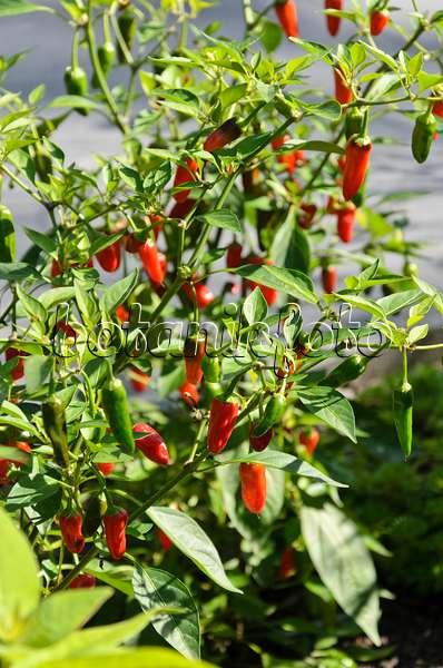 bild chili capsicum annuum 39 cayenne 39 487279 bilder und videos von pflanzen und g rten. Black Bedroom Furniture Sets. Home Design Ideas