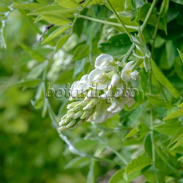 bild chinesischer blauregen wisteria sinensis 535443 bilder und videos von pflanzen und. Black Bedroom Furniture Sets. Home Design Ideas