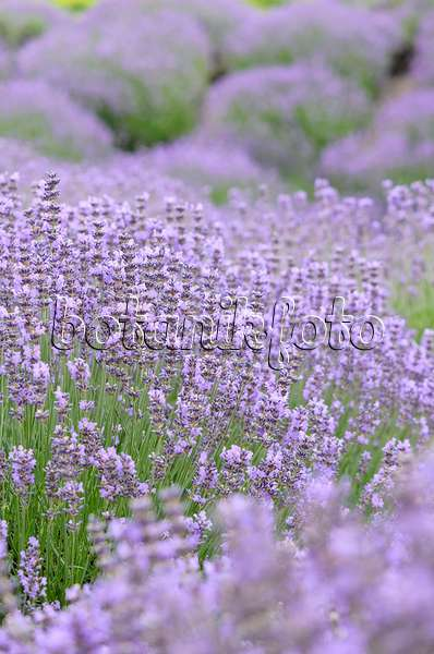 bild echter lavendel lavandula angustifolia und rosen. Black Bedroom Furniture Sets. Home Design Ideas